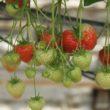 Co trzeba wiedzieć o uprawie owoców i warzyw w szklarni?